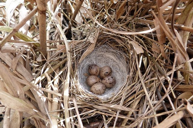 Reed Buntings Nest And Eggs Emberiza Schoeniclus Bird Eggs Pet Birds Passerine Bird