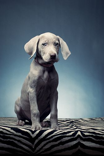 Presenting Abby Weimaraner Puppies Cute Animals Baby Dogs