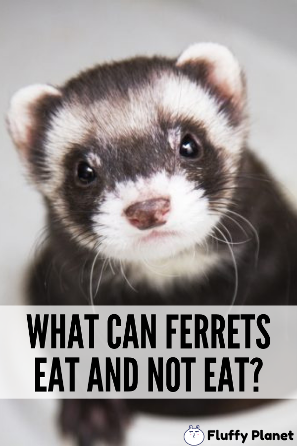 What Can Ferrets Eat And Not Eat Ferret Pet Ferret Ferret Diet