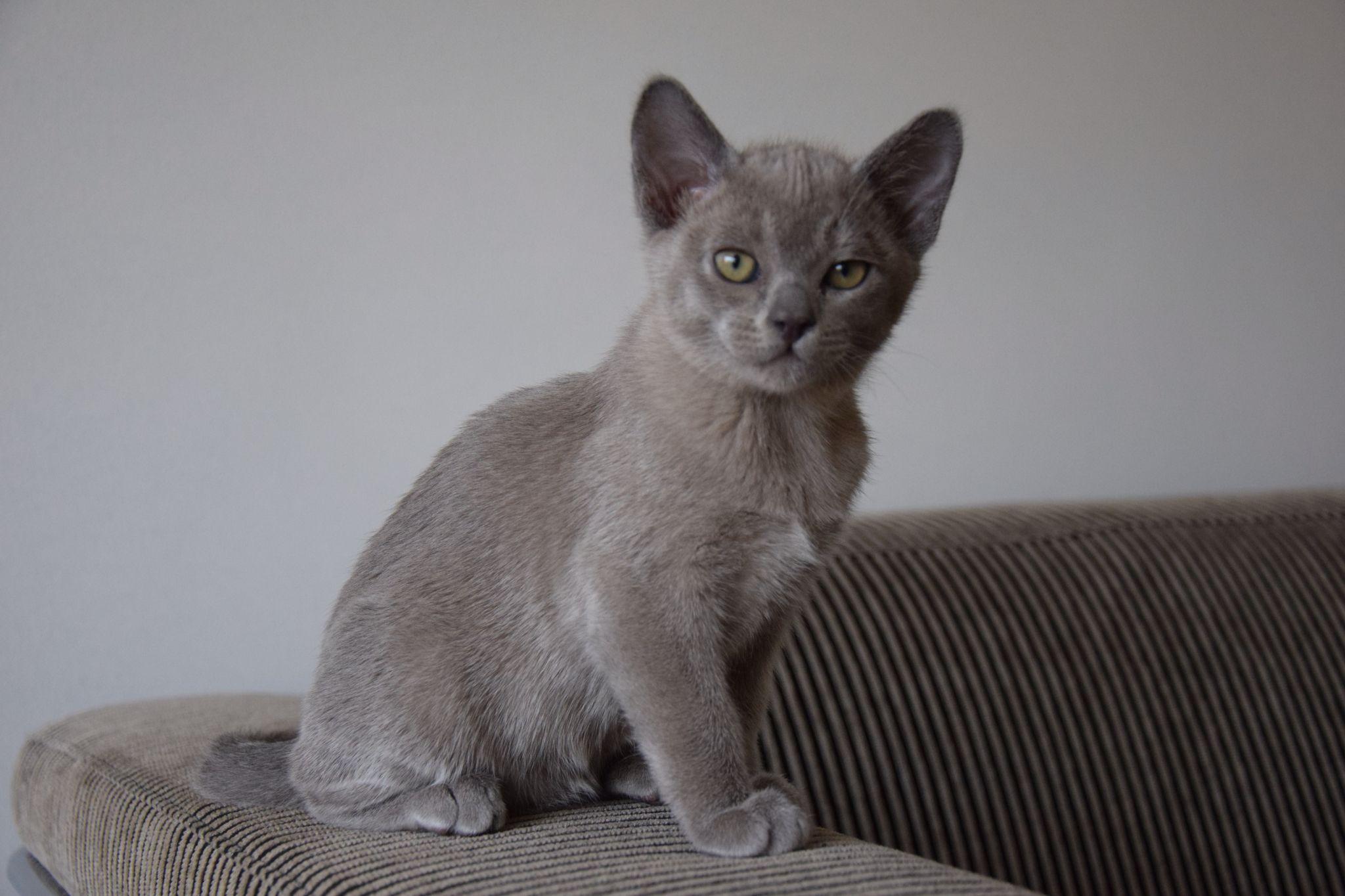 Isra Burmees Burmese Cat Burmese Kittens Burmese Cat Kittens