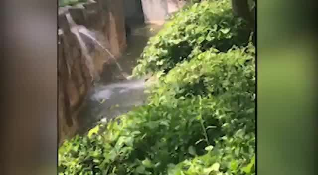 3 year old boy makes his way into the gorilla exhibit at Cincinnati Zoo and is handled by a 17 year old male silver back gorilla.  Gorilla is shot and killed by the zoo's emergency response team, who