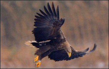 Fliegender Seeadler Adler Greifvogel Raubvogel