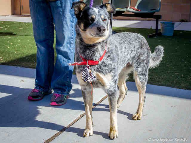 A1739081 Nora Is A 1 Yr Old Female Australian Cattle Dog Mix Nora Is A Member Of Our Shy Do With Images Australian Cattle Dog Mix Cattle Dogs Mix Australian Cattle