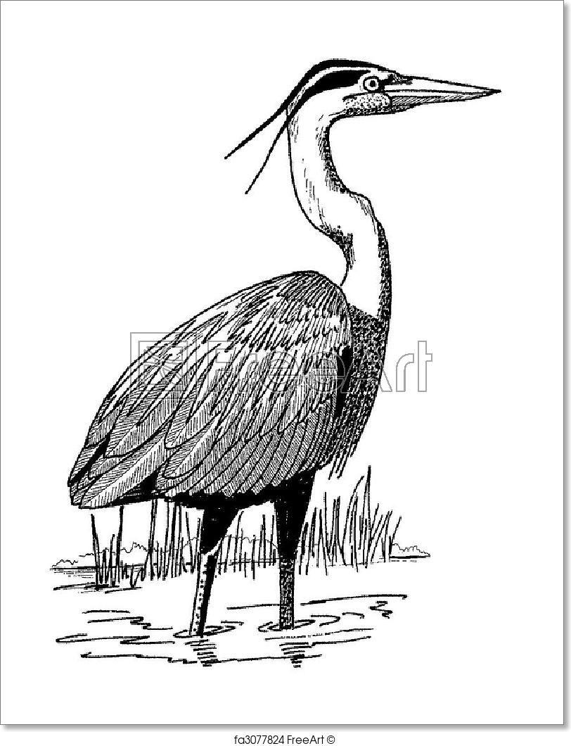 Ardea Herodius Freeart Fa3077824 Heron Illustration Free Art Prints Blue Heron