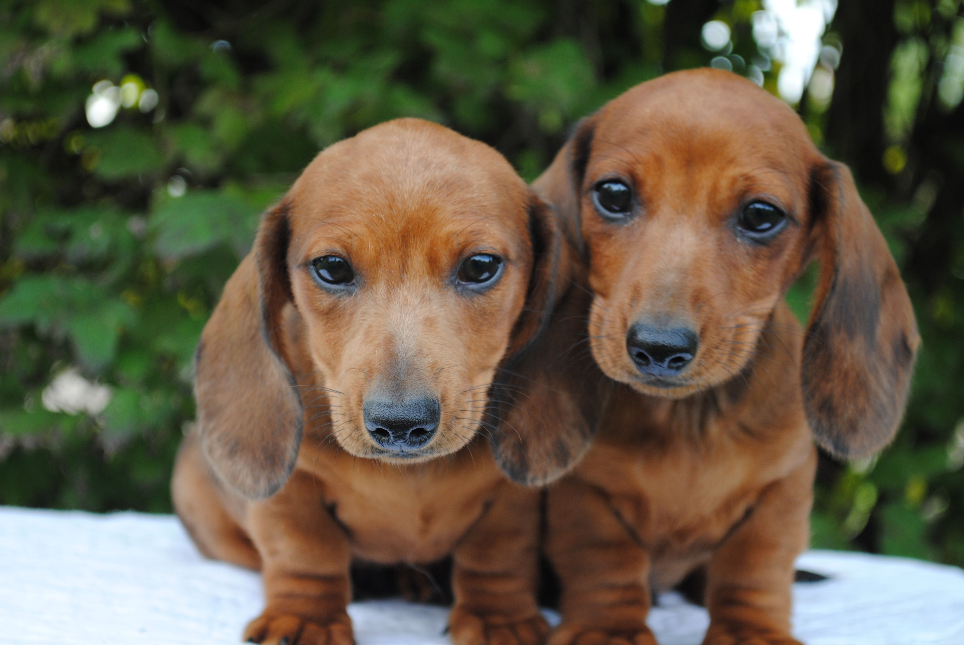 Beautiful Smoothcoat Red Dapple Boys Dapple Dachshund Dachshund Cream Dachshund