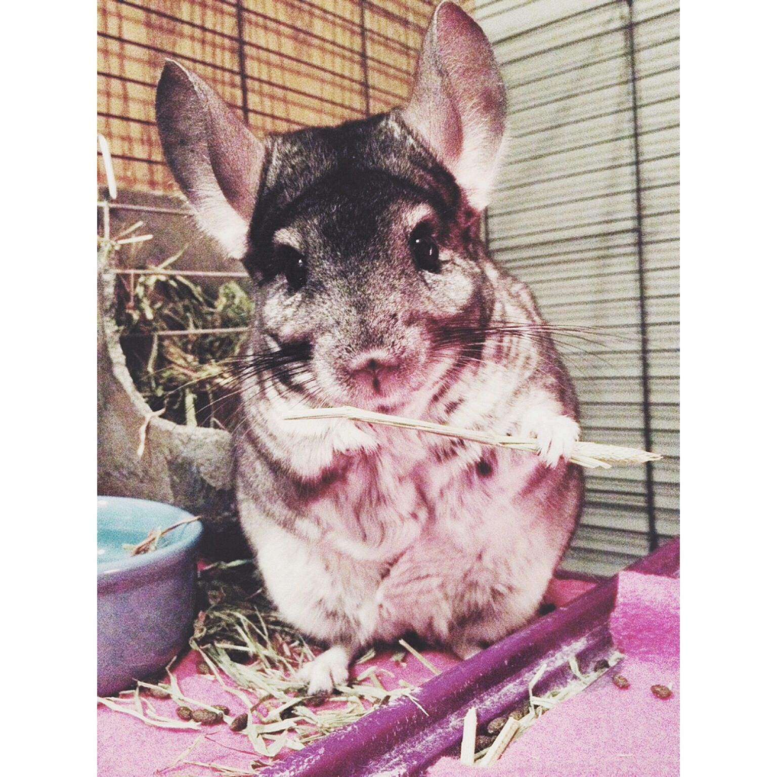 My chinchilla eating kibbles (With images) Chinchilla