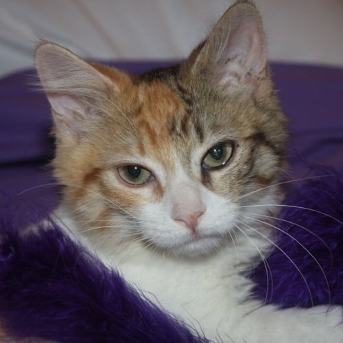 Adopted Carley Is A 4 Month Old Female With Calico Torbie Markings Domestic Medium Hair Kitten Carley Is A Little Shy But Is T Calico Kitten Lucky Dogs Kitty