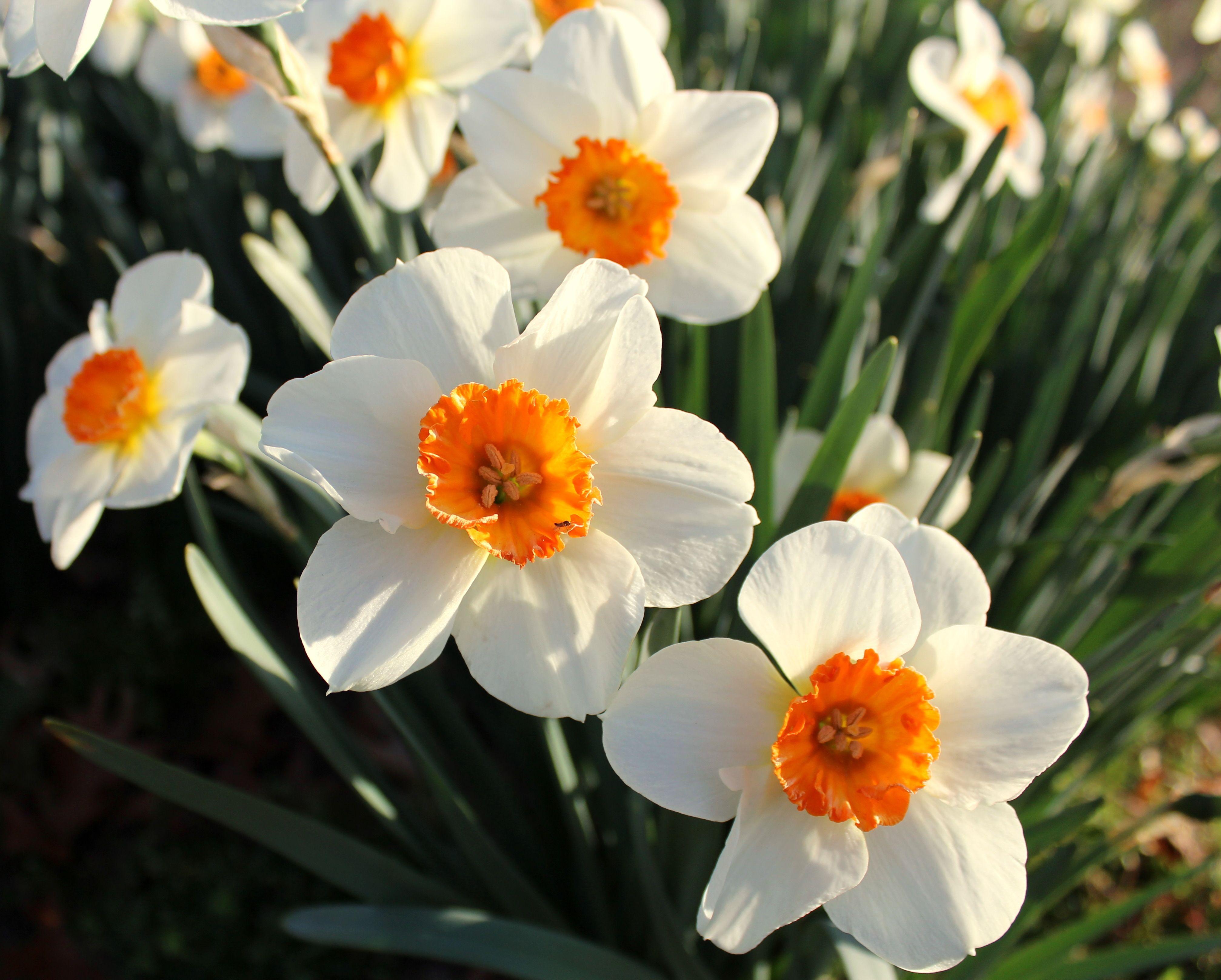 Daffodils. Spring.