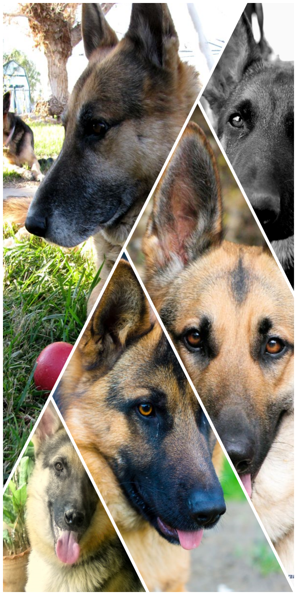 See The Purebred German Shepherd Puppies For Sale Near Me German Shepherd Dog Purebred German Shepherd Puppies Shepherd Dog Breeds German Shepherd Puppies