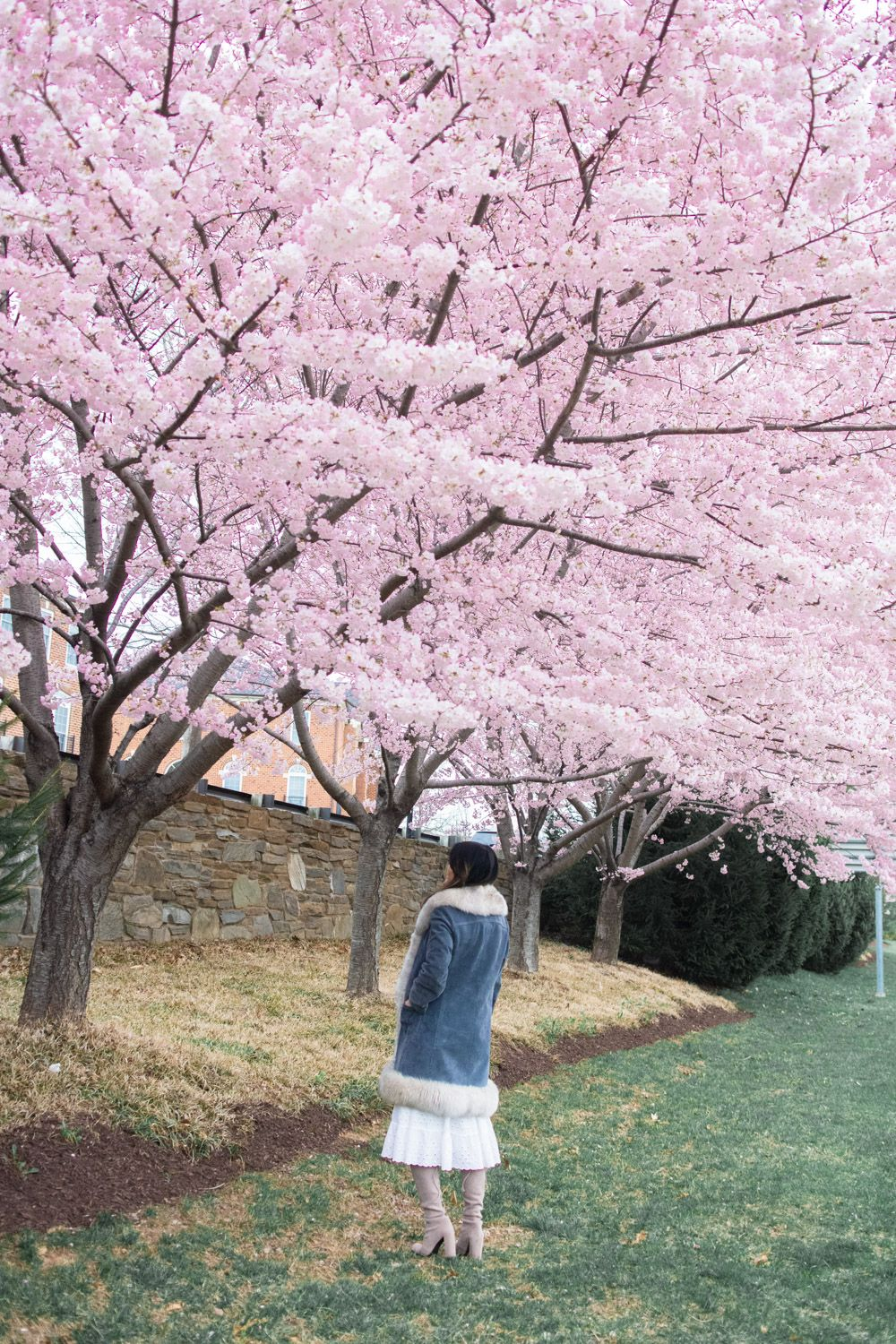 5 Magical Places To See Cherry Blossoms In Maryland With Kids Magical Places Places To See Monument Valley Utah