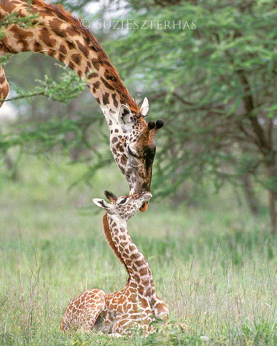 Baby Giraffe And Mother Photo Print Mom And Baby Animal Photograph