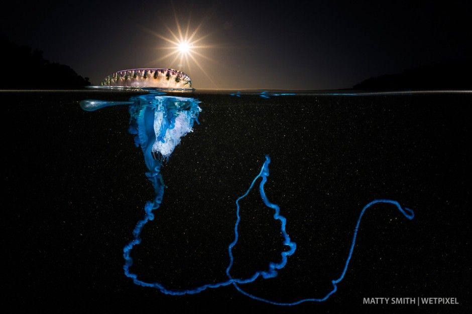 A bluebottle siphonophore (*Physalia utriculus*) at ...