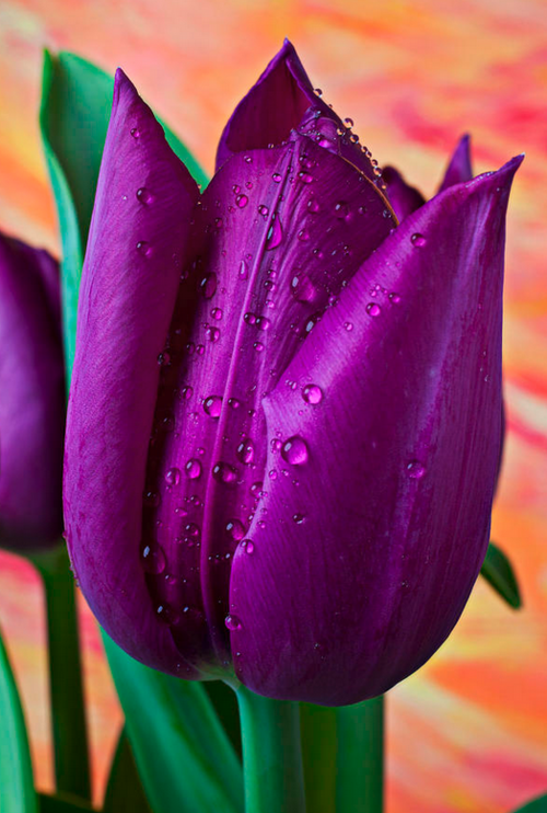 Purple Tulip Photograph by Garry Gay