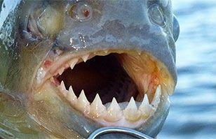 Ataques de peces carnívoros generan pánico en el norte de Argentina   Argentina