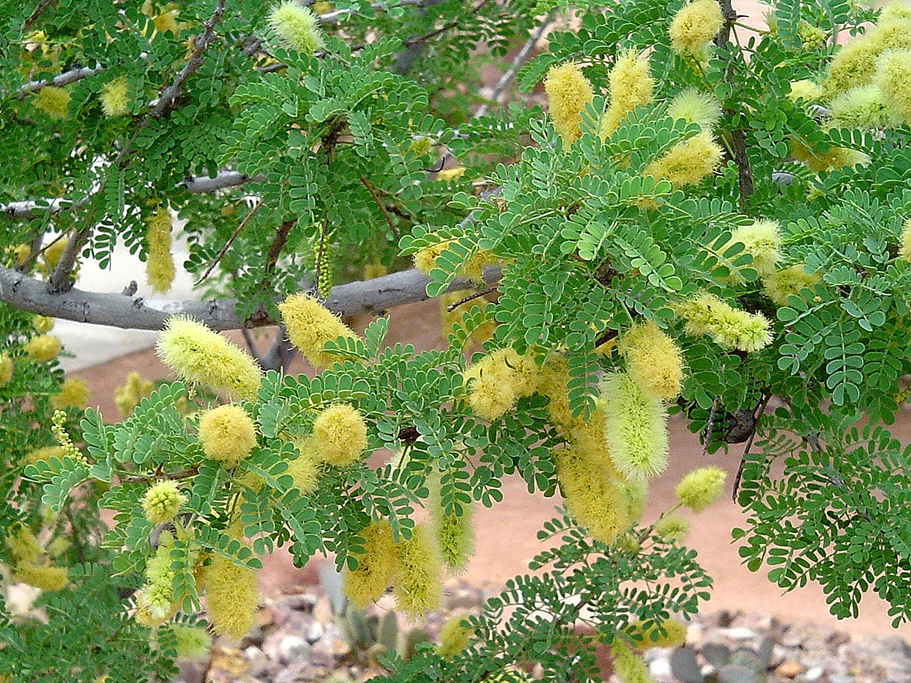 Cats Claw Acacia Acacia Greggii Pretty Yellow Flowers And
