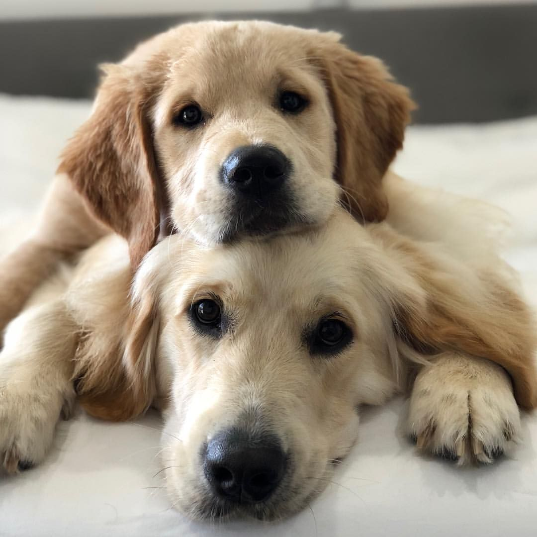 Two Heads Are Better Than One Puppies Cute Dogs Retriever