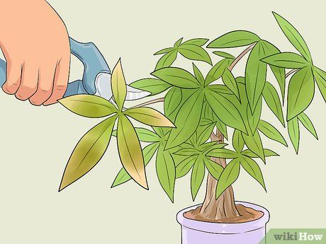 Care for a Money Tree is part of Money tree plant, Money tree plant care, Money trees, Money tree bonsai, Money plant indoor, Trees to plant - How to Care for a Money Tree  The money tree, also known as Pachira aquatica, is an easytogrow indoor plant that traditionally comes with its trunks braided together  Money trees don't require a lot of maintenance, but there are some things you should do to ensure your money tree stays healthy and green  Put your