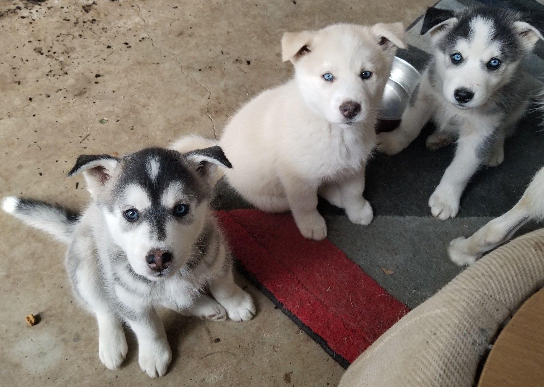 Siberian Husky Puppies 2 Months Old Siberian Husky Siberian