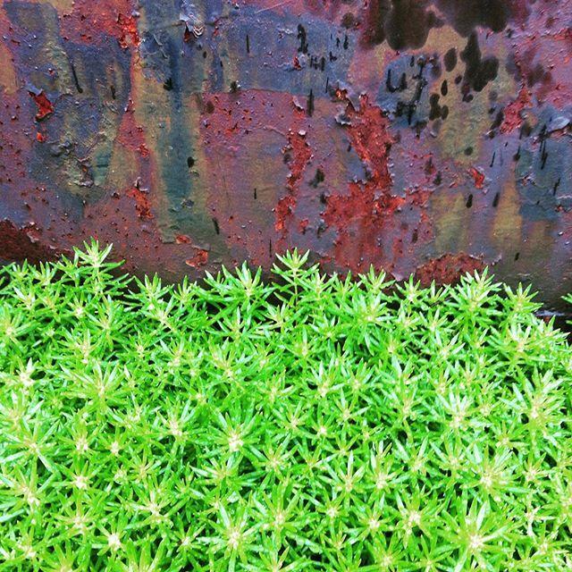 マンネングサ 日本のセダム これはメキシコマンネングサかもしれません帰化植物 #pin