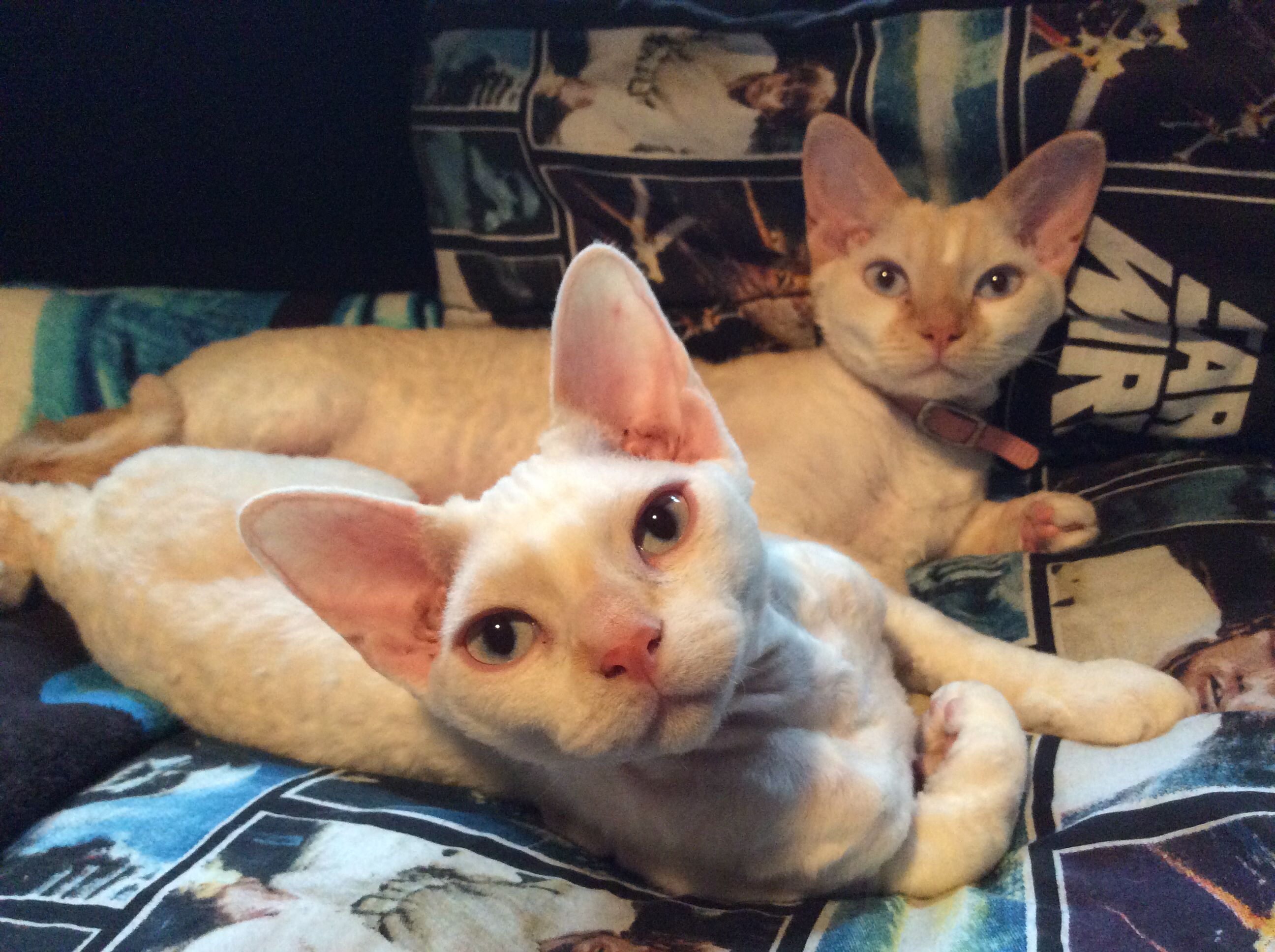 Devon Rex Cat Sparky And Sugar Snuggled Up On Michael S Star Wars Blanket Mom Is An Angel Sparky Is A Little Stinker Rex Cat Devon Rex Cats Devon Rex