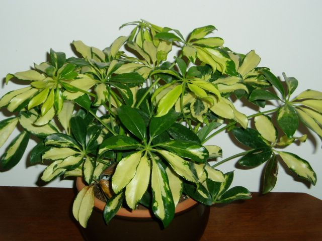 Variegated Schefflera Plant I had one of these  her name was genvieve
