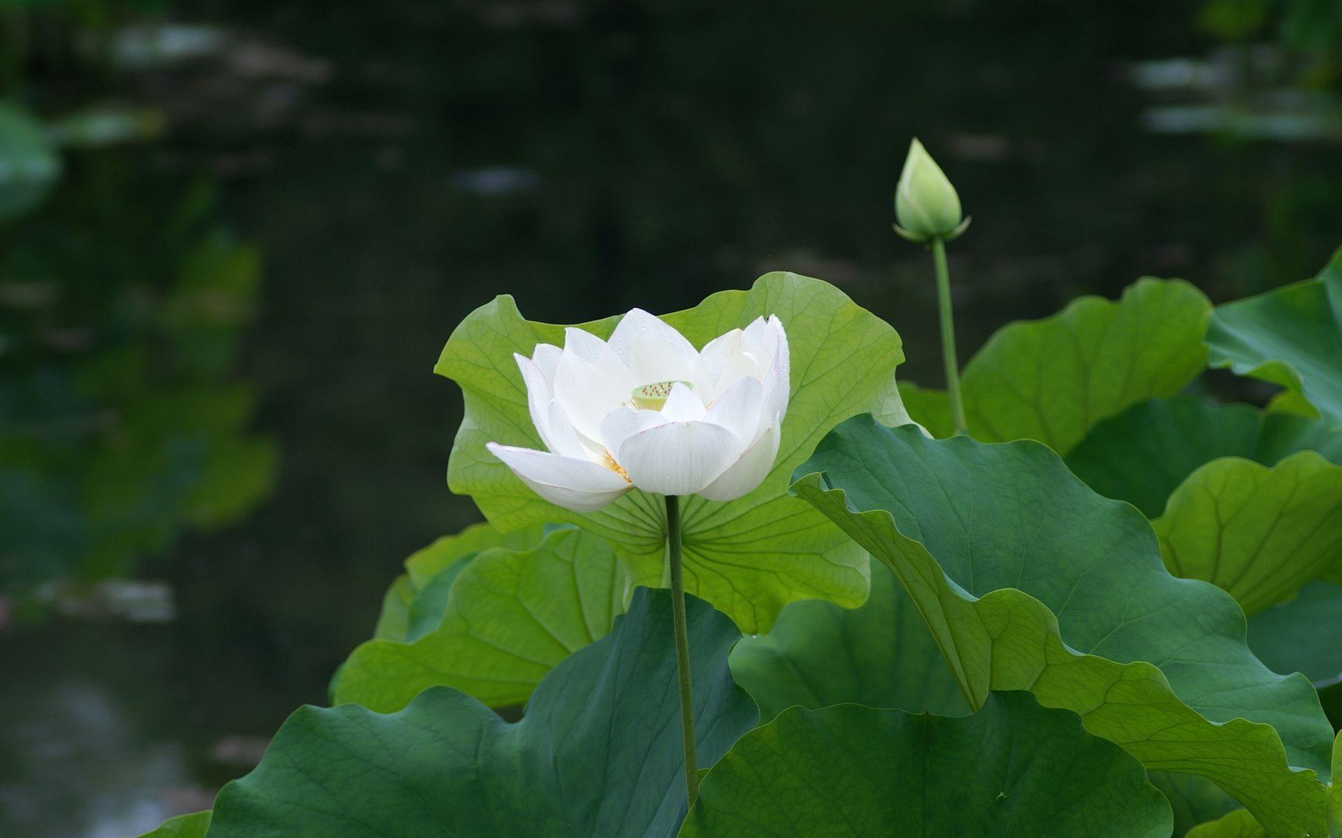 Pin by ed pascua on photography pinterest photography white lotus flower meaning and symbolism mythologian izmirmasajfo