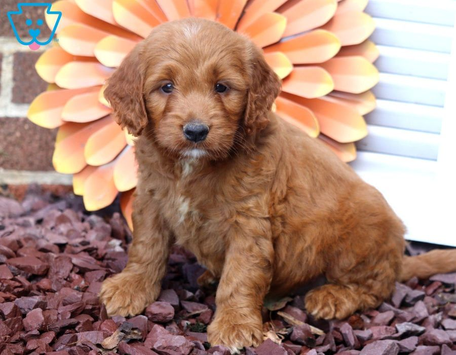 Minnie Labrador Retriever Yellow Puppy For Sale Keystone Puppies Puppies For Sale Miniature Puppies Puppies