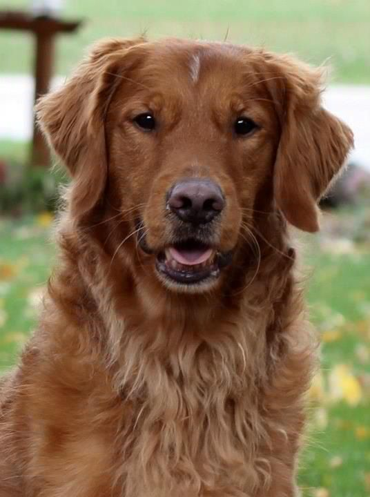Fletcher American Field Golden Retriever Golden Retriever Red