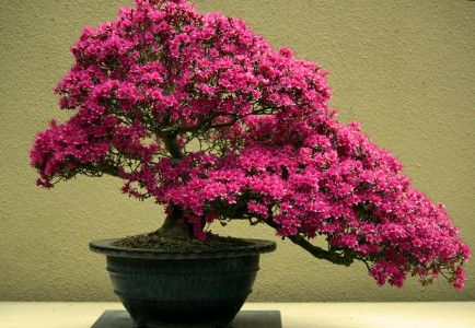Types of Bonsai Trees | The bonsai tree with pink blooms featured in