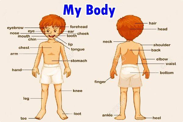 Kosakata bahasa inggris anggota tubuh beserta gambar dan - Diva my body your body ...