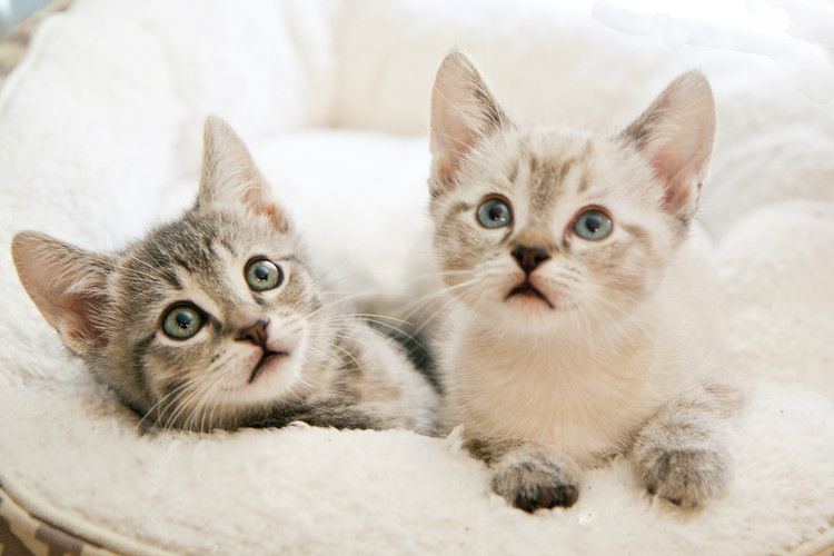 Nevada Shelter Is Caring For 400 Kittens And Would Love A Little Help Buy A Kitten Kitten Care Baby Cats
