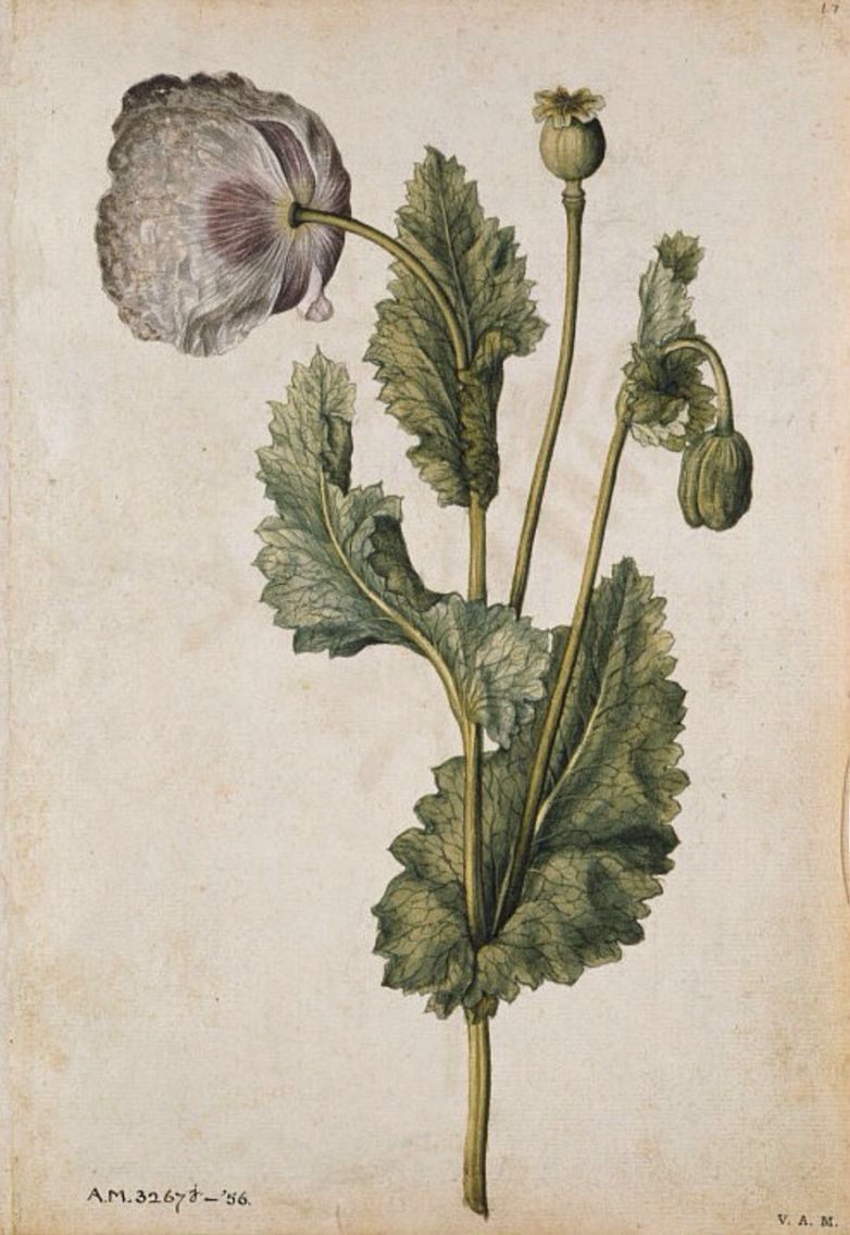 Opium Poppy, by Huguenot artist Jacques Le Moyne de Morgues (France, 1533–1588), from an album of 59 watercolours of flowers, fruits, butterflies and moths, ca.1575. Watercolour and bodycolour; 27.4 x 19.3 cm