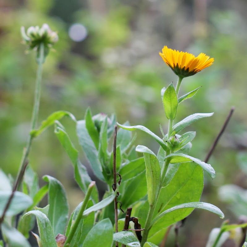 MORGENFRUE - Calendula officinalis