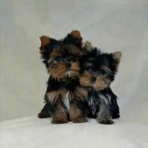 Yorkie Poo Pups Yahoo Image Search Results Yorkie Dogs Cute Animals Yorkie Poo