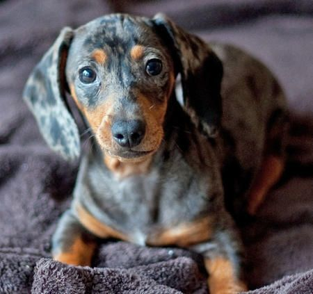 Dachshund Wiener Dog Wiener Dog Dachshund Dachshund Pictures