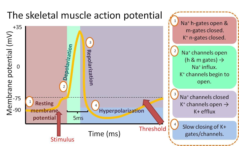 Resultado de imagem para muscular action potential