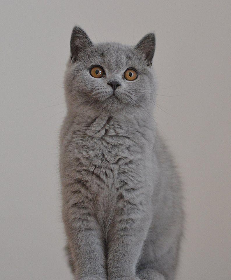 British Shorthair British Shorthair British Shorthair Cats Cat Breeds