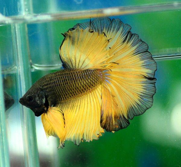 Black yellow | Fancy bettas | Pinterest | Betta, Fish and ...