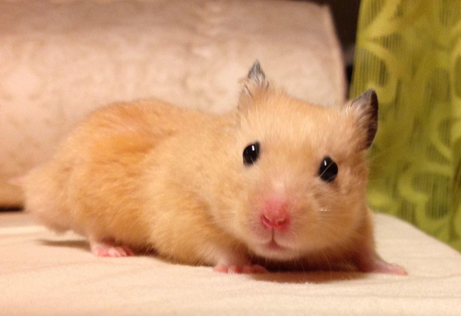 ハムスター飼いたいやけどおすすめおしえてくれ Cute Animals Cute Hamsters Cute Baby Animals