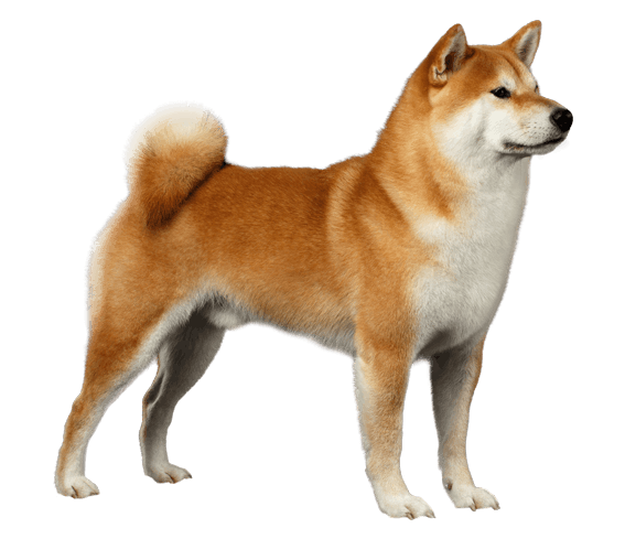 Shiba Inu Dog Breed Facts And Information Wag Dog Walking Shiba Inu Shiba Inu Dog Dog Walking