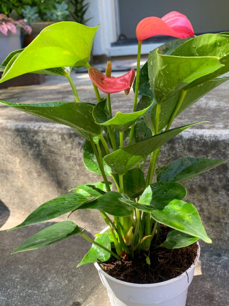 Laceleaf Flamingo Anthurium In 2020 Anthurium Plant Plants Anthurium