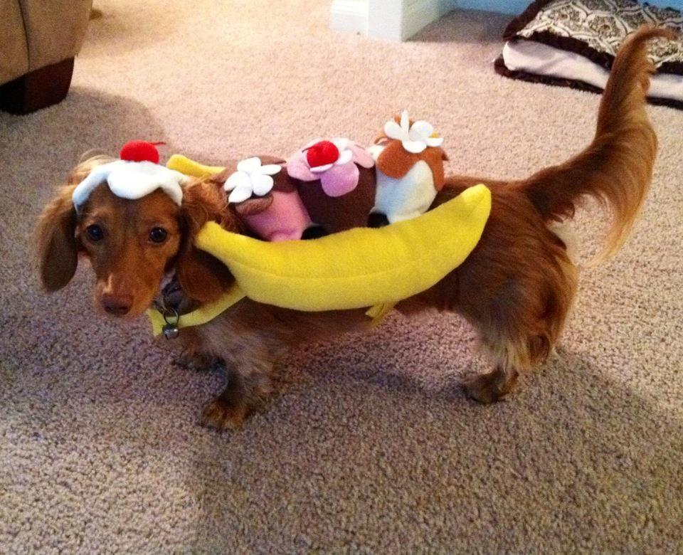 Dachshund Costume Banana Split With Images Dachshund Costume