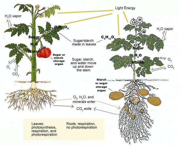 Photosynthesis respiration transpiration diagram diy enthusiasts how plants grow how plants grow photosynthesis respiration and rh pinterest ie photosynthesis cell respiration diagram simple cellular respiration diagram ccuart Images