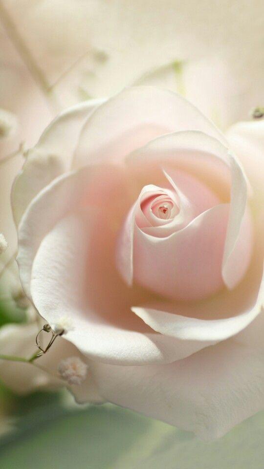 La rose presque blanc
