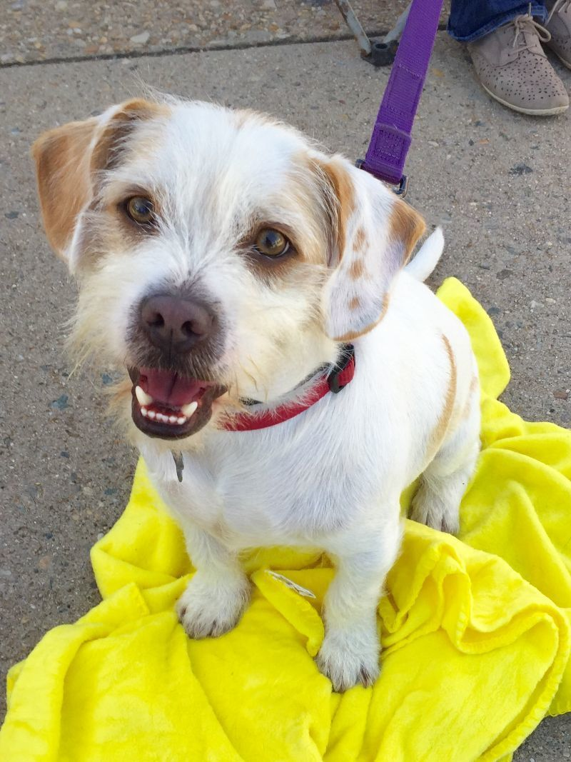 Adopt Harley on Pets, Terrier mix dogs, Pet adoption