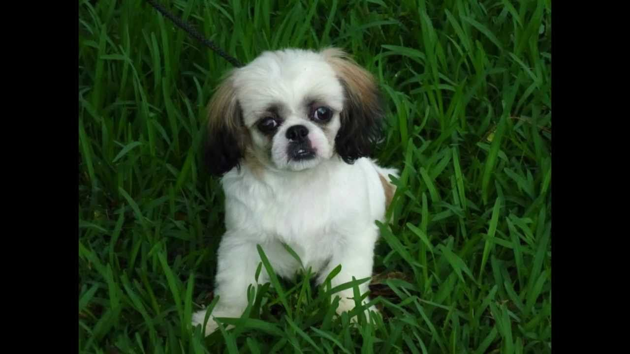 Shih Tzu puppy with Balanced Obedience dog and puppy