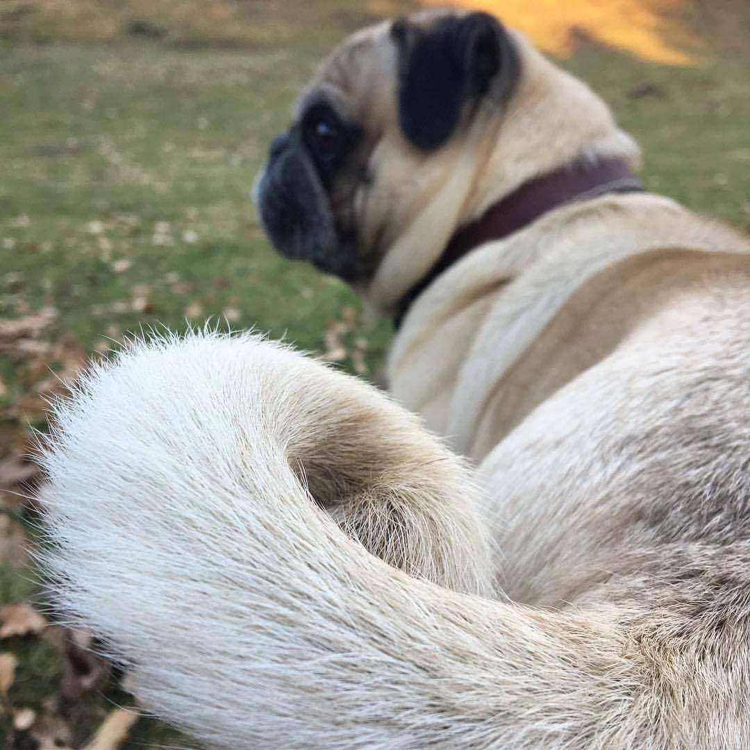 See this Instagram photo by @pugloversclub • 11.1k likes