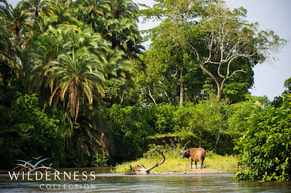 Charismatic forest buffalo is also abundant. Lango Camp, Congo