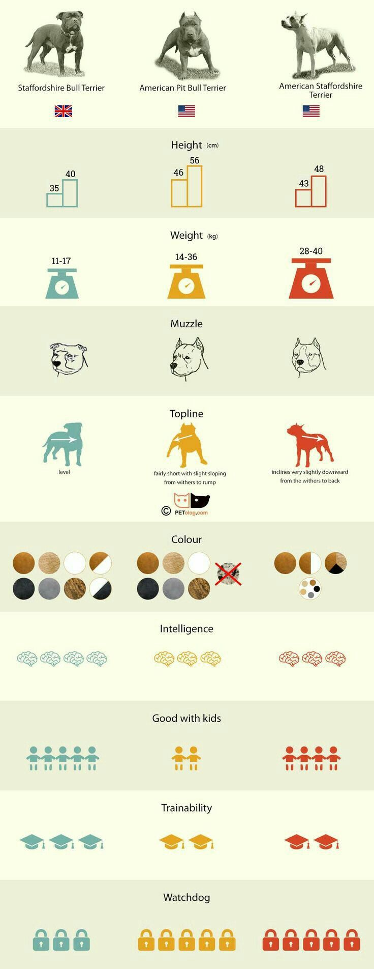Pin by coraline on perros pitbull y sttaford son amor puro whats the difference between staffordshire bull terrier american staffordshire terrier american pitbull terrier in infographic geenschuldenfo Image collections