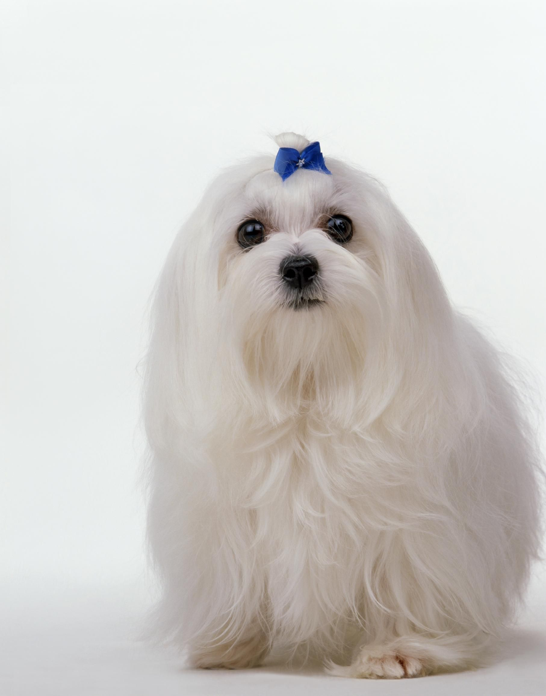 Best Small Dogs For Families Animals Fcpets Family Maltese